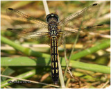 Blue Dasher-Female