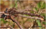 Lancet Clubtail-Female
