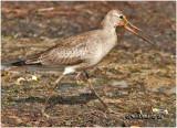 Hudsonian Godwit-Juvenile