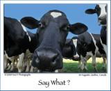 Regarde la vache ...