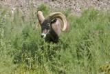 Second Big Horn Sighting