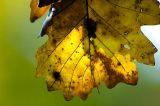 Fall Oak  [7]