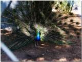 Peacock_IMG_1239.jpg
