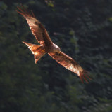 Milan / Red Kite