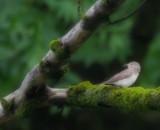 Grauschnäpper / Spotted Flycatcher