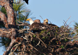 Both Eagles on Nest