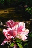 Pink Flower on water's edge