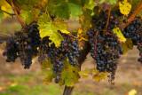 Icewine Vines