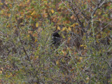 Cypernsångare - Cyprus Warbler (Sylvia melanothorax)