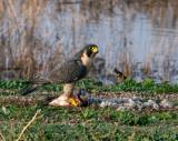 Falcon eating.jpg