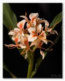 Hedychium Pink Flame