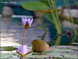 Water Lily 08 (Stand Alone)