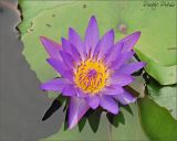 Water Lily01