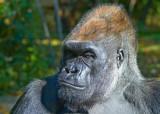 lowland gorilla/patriarch