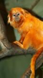 golden tamarin