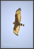 Spotted this Zone-tailed Hawk soaring in the sky over Yuma AZ. My first and it is rare to the area.