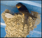 Barn Swallow Nest on Ferry