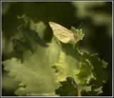 Mustard White Butterfly, Jarvie,AB