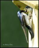 Male Tree Swallow