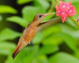 CINNAMON HUMMINGBIRD