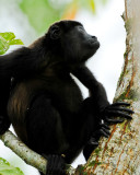 COSTA-RICAN HOWLER MONKEY