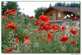 poppies-5304-sm.JPG
