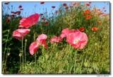 poppies-5361-sm.JPG