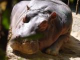 hippo1327.JPG
