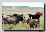 'Longhorns'