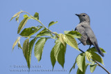 Moqueur Chat / Grey Catbird