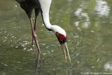 Grue - Crane