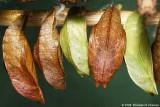 Chrysalides papillons de jour