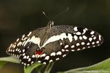 Papilio demoleus (demodocus ?)