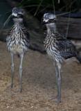 Bush Thicknee chicks