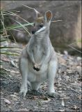 Young Whiptail Wallaby