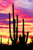 Sajuaro Sunset
