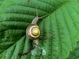 Trädgårdsnäcka White-lipped Banded Snail Capaea hortensis