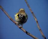 Steglits  Golden Finch Cardueles cardueles