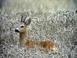 Rådjur Roe deer Capreolus capreolus