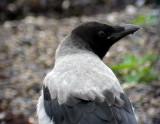 Gråkråka  Hooded Crow Corvus cornix