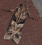 Loblolly Pine Coneworm Moth (5863.1)