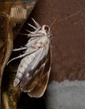 Gloomy Underwing Moth (8849)