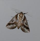 Doubleday's Baileya Moth (8969)
