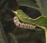 Caterpillar of Queen Butterfly