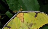 African Moon Moth 6 3.0.jpg