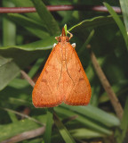 Genista Broom Moth (4992)