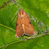 The Wedgeling Moth (9688)