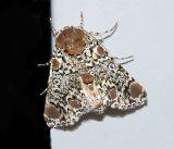 Harris's Three Spot Moth (9286)