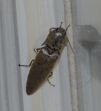 Large Brown Click Beetle