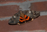 US MOTHS:  Noctuidae:Catacola - Amphipyrinae